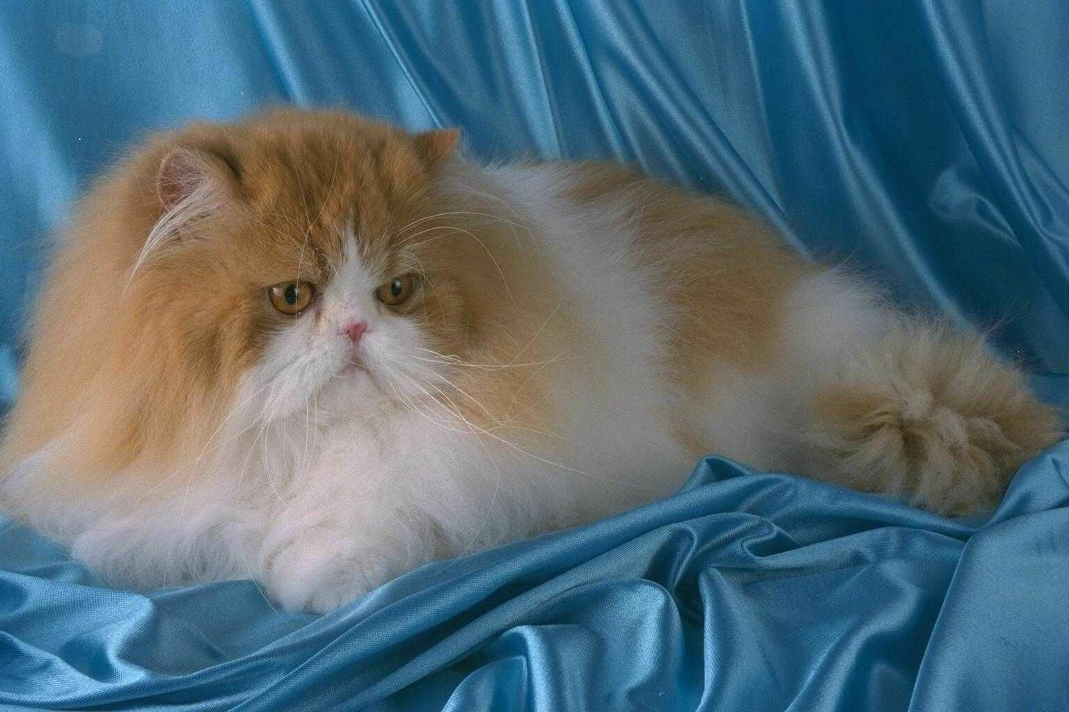 домашняя кошка (felis domesticus, felis silvestris domesticus), фото фотография, кошки.