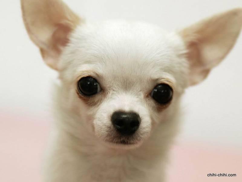 Это, однако, можно устранить путем социализации.  Чихуахуа - это восхитительные собаки.